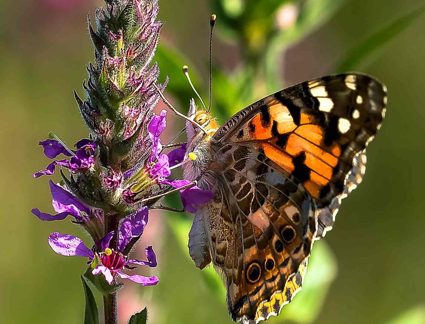 Questa farfalla è in grado di viaggiare anche 15mila chilometri